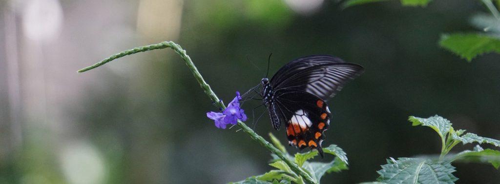 Mariposa polinizando una flor. La acción humana está provocando la pérdida de la biodiversidad en nuestro planeta.